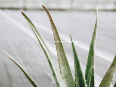 Rood/paars/bruin blad van de Aloë vera plant - Dr. Green