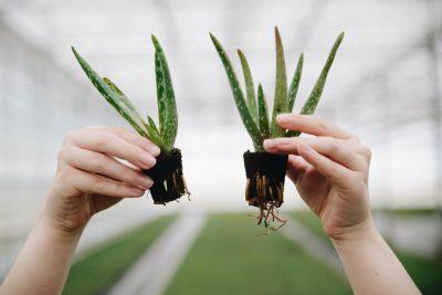2 kleine Aloë vera stekjes met en zonder wortels - Dr. Green Aloë vera kwekerij