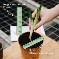 Aloë vera stekken - Diameter van de stek - Dr. Green Aloë vera kwekerij