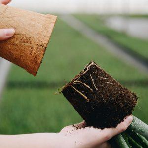 Aloë vera stekken - De grond bekijken of er wortels zitten - Dr. Green Aloë vera kwekerij