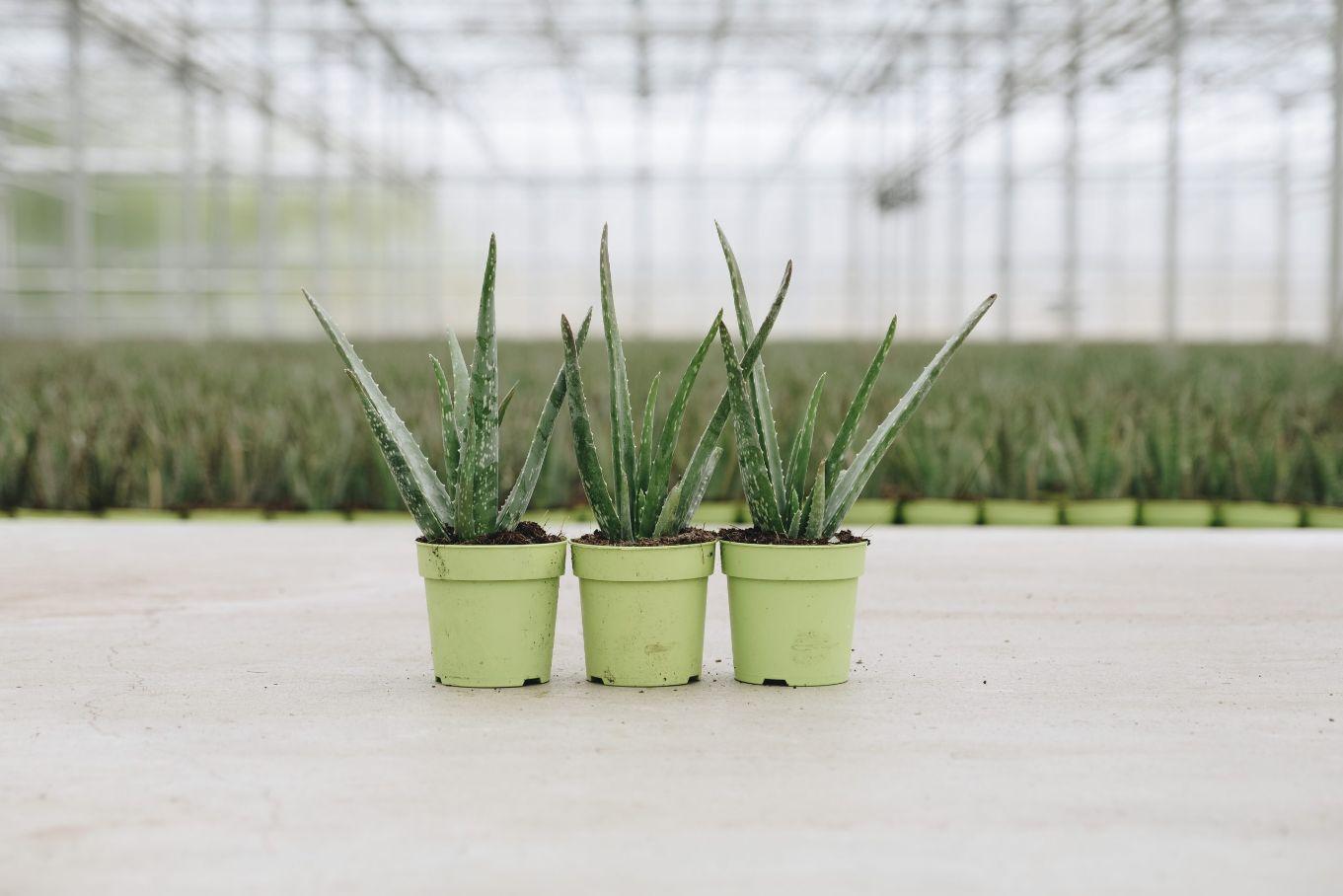 3 kleine Aloë vera planten Zusjes Green van Dr. Green