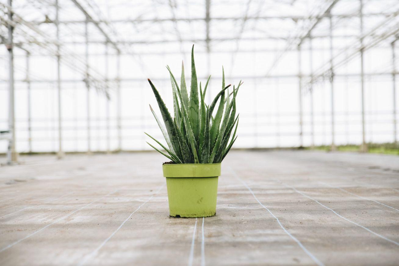 Grote aloë vera plant Papa Green van Dr. Green - Te gebruiken als huidverzorging - Verse Aloë vera gel rechtstreeks uit het blad van de plant