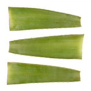 3 verse Aloe vera bladeren van Dr. Green 2