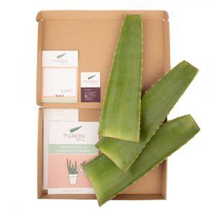 3 verse Aloe vera bladeren van Dr. Green