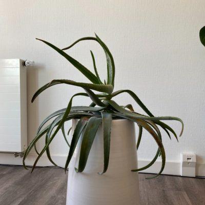Aloe vera slap blad